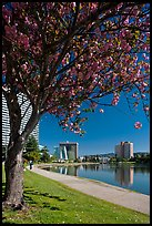 Lake Merritt in the spring with  Pink Flowering Almond. Oakland, California, USA ( color)