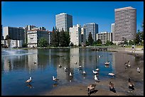 Ducks in Lake Merritt, a large tidal lagoon. Oakland, California, USA ( color)