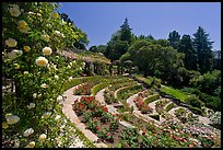 Municipal Rose Garden. Berkeley, California, USA (color)