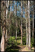 Eucalyptus trees, Berkeley Hills, Tilden Regional Park. Berkeley, California, USA ( color)