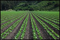 Vegetable crops. Watsonville, California, USA (color)
