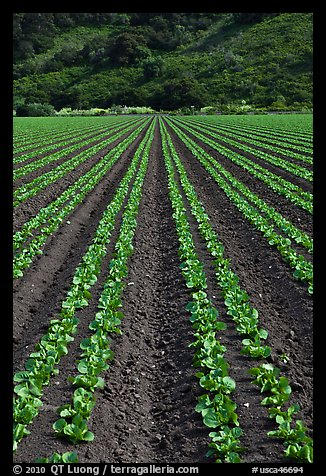 Lettuce intensive cultivation. Watsonville, California, USA (color)