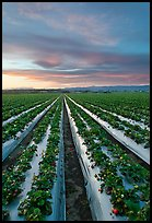 Strawberry plasticulture, sunset. Watsonville, California, USA (color)