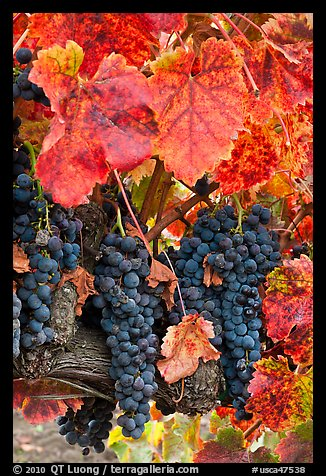 Red wine grapes on vine in fall. Napa Valley, California, USA (color)