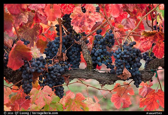 Grapes and red leaves on vine in fall. Napa Valley, California, USA (color)