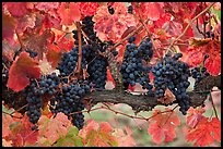 Grapes and red leaves on vine in fall. Napa Valley, California, USA ( color)
