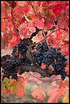 Vine with wine grapes and red leaves in autumn. Napa Valley, California, USA (color)