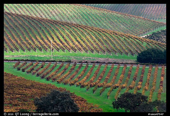 Hillside with rows of vines. Napa Valley, California, USA (color)