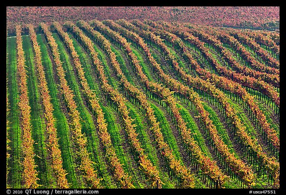 Rows of wine grapes in fall colors. Napa Valley, California, USA (color)