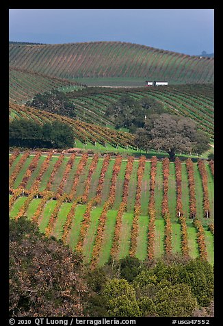 Carneros Valley Vineyard landscape in autumn. Napa Valley, California, USA (color)