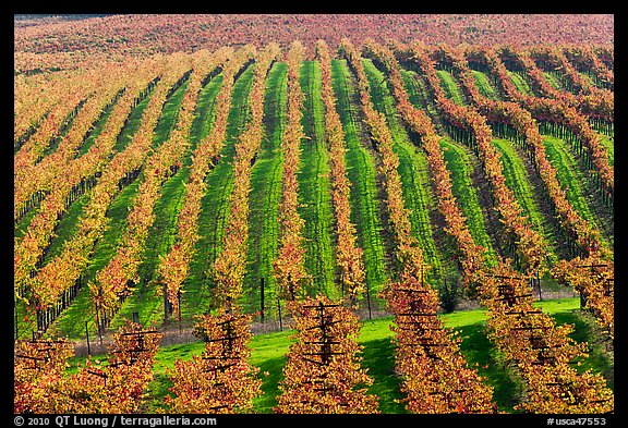 Rows of wine grapes in autumn colors. Napa Valley, California, USA (color)