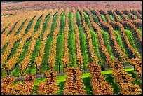 Rows of wine grapes in autumn colors. Napa Valley, California, USA ( color)