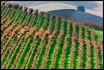 Colorful row of vines and hazy hills. Napa Valley, California, USA (color)