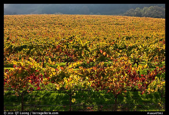 Large vineyard with golden fall colors. Napa Valley, California, USA (color)
