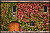 Facade covered with ivy in fall, Hess Collection winery. Napa Valley, California, USA (color)