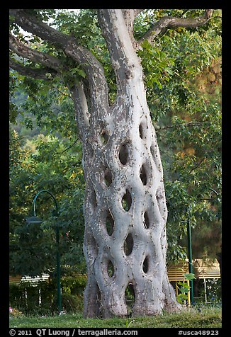 Basket tree formed by six Sycamores grafted together in 42 connections, Gilroy Gardens. California, USA