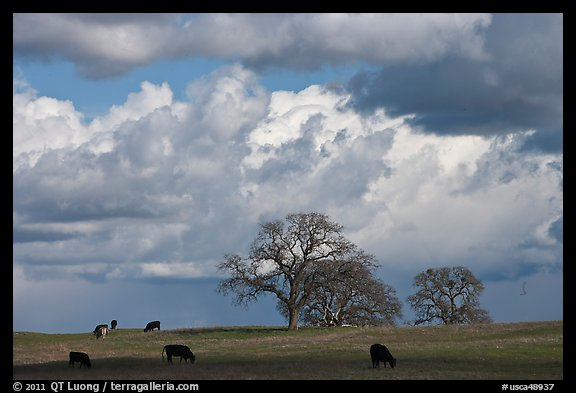 Cows, oak trees, and clouds. California, USA (color)