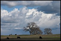 Cows, oak trees, and clouds. California, USA ( color)
