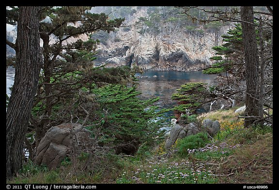 Cypress and wildflowers framing a cove. Point Lobos State Preserve, California, USA (color)