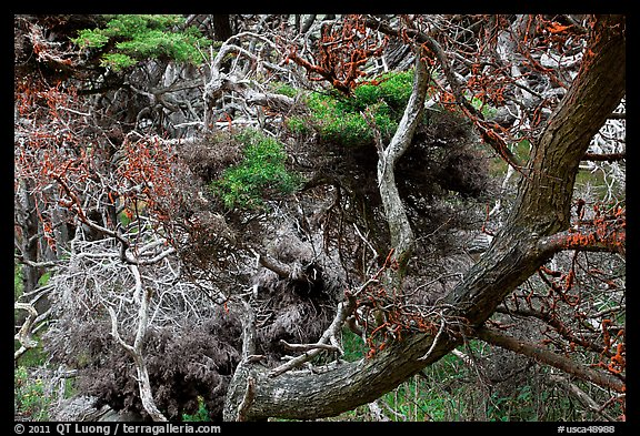 Monterey Cypress with carotene. Point Lobos State Preserve, California, USA (color)