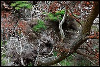 Monterey Cypress with carotene. Point Lobos State Preserve, California, USA ( color)
