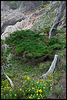 Flowers and cypress. Point Lobos State Preserve, California, USA ( color)