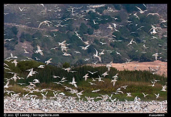 Seagull flock. Carmel-by-the-Sea, California, USA (color)