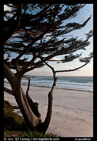 Cypress at the edge of Carmel Beach. Carmel-by-the-Sea, California, USA (color)