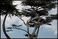 Monterey Cypress and sky, Lovers Point. Pacific Grove, California, USA (color)