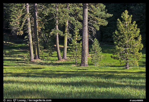 Pines and meadow near Grant Grove, Giant Sequoia National Monument near Kings Canyon National Park. California, USA (color)