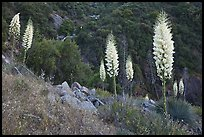 Blooming Yucca near Yucca Point, Giant Sequoia National Monument near Kings Canyon National Park. California, USA (color)