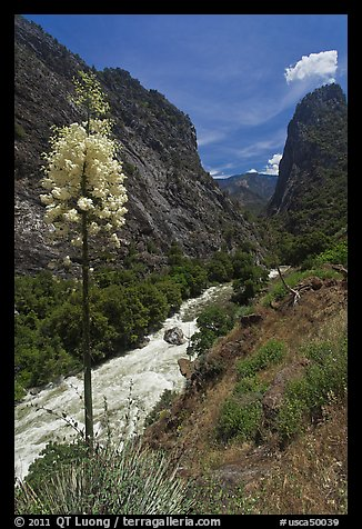 Yucca in bloom and Kings River in steep section of Kings Canyon, Giant Sequoia National Monument near Kings Canyon National Park. California, USA (color)