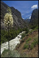Yucca in bloom and Kings River in steep section of Kings Canyon, Giant Sequoia National Monument near Kings Canyon National Park. California, USA ( color)