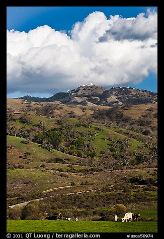 Cows in pasture below Mt Hamilton, Joseph Grant County Park. San Jose, California, USA (color)