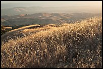 Summer grasses on Evergreen Hills. San Jose, California, USA ( color)