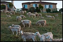 Sheep and suburban hones, Silver Creek. San Jose, California, USA