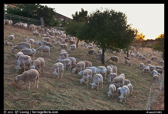 Herd of sheep, Silver Creek. San Jose, California, USA (color)