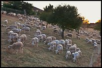 Herd of sheep, Silver Creek. San Jose, California, USA