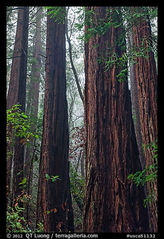 Tall redwood trees in fog. Muir Woods National Monument, California, USA (color)