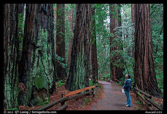 Woman looking at tall redwood trees. Muir Woods National Monument, California, USA (color)