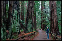 Woman looking at tall redwood trees. Muir Woods National Monument, California, USA ( color)