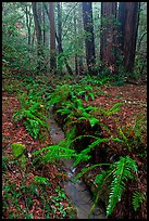 Tiny stream and ferns. Muir Woods National Monument, California, USA (color)