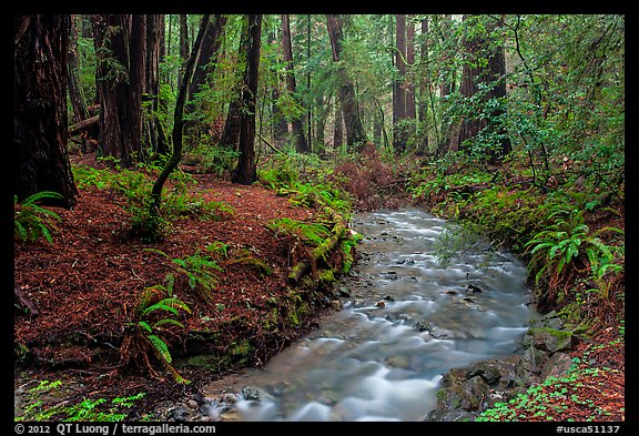 Stream in redwood forest. Muir Woods National Monument, California, USA (color)