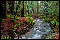 Stream in redwood forest. Muir Woods National Monument, California, USA ( color)