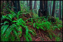 Ferns and redwood trees. Muir Woods National Monument, California, USA (color)