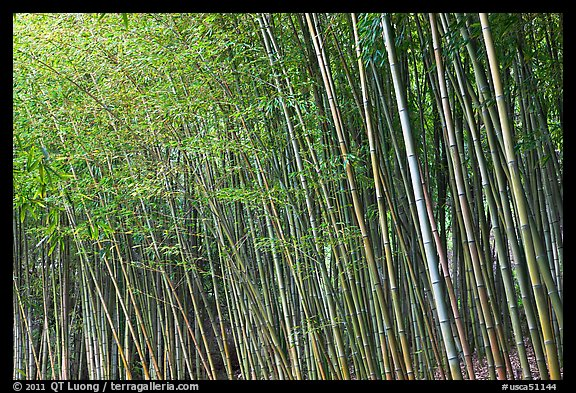 Bamboo forest. Saragota,  California, USA (color)