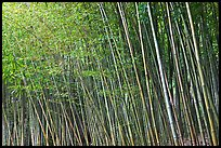 Bamboo forest. Saragota,  California, USA ( color)
