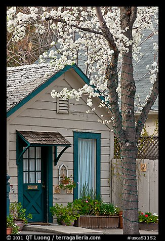 Tree in bloom and house. Saragota,  California, USA (color)
