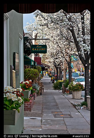 Sidewalk framed by blooming trees. Saragota,  California, USA (color)