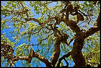 Oak trees with new leaves, Filoli estate. Woodside,  California, USA ( color)